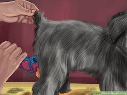 affenpinscher coat type veterinarian approved advice on how to groom a dog wikihow