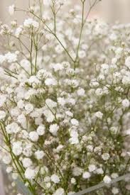 baby s breath breath filler 8 bunches new variety