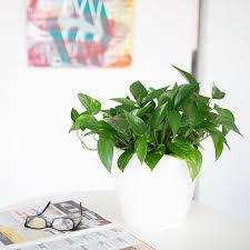 heartleaf philodendron plant delivery shop online my city plants