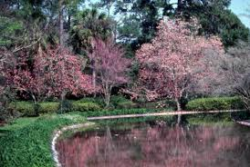 florida memory view of flowering trees at maclay gardens state
