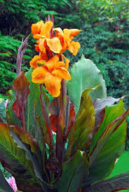 cana lilly canna wyoming indian wyoming cana wyoming canna