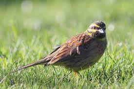 cirl bunting new zealand birds online