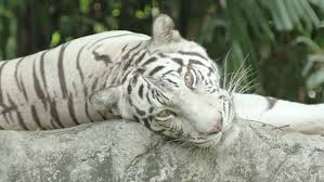 a bengal tiger rolling on his back yawning and enjoying