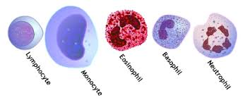Structural Features Of White Blood Cells 5 White Blood Cells Types And Their Functions New Health Advisor