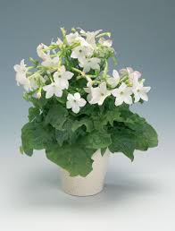 plants flowers tobacco