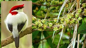 in an example of mutualism the critically endangered araripe