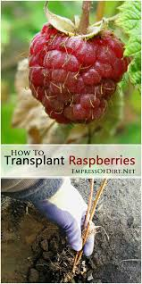 Transplant Fruit Trees - how to transplant raspberries raspberry gardens and summer