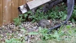 rabbit in backyard youtube