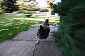 Chicken Running Meme - chicken running meme generator imgflip