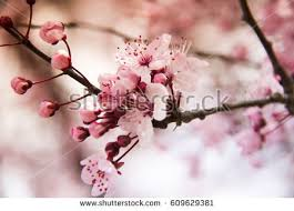 cherry blossom stock images royalty free images vectors