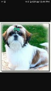 how to cut a shichon s hair shih001 jpg photo this photo was uploaded by kcalbat find other