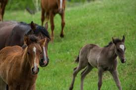 Black Mustang Horse Pictures Foals At Mustang Meadows Black Hills Wild Horse Sanctuary