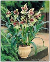 amaryllis for early mid and late winter bloom gardening