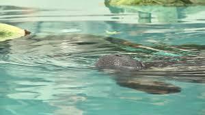 photos manatees arrive at jacksonville zoo