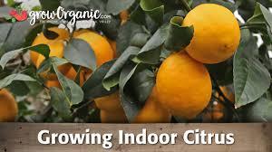 growing indoor citrus organically youtube