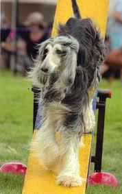 afghan hound coat colors 50 best afghan hound dog breed images on pinterest afghans