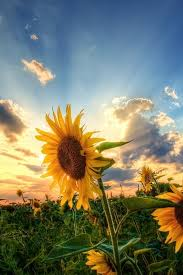 sunflower wallpapers sunflower photography wallpaper