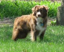 australian shepherd upstate ny dog breeders in new york