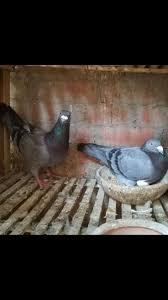 best 25 homing pigeons ideas on pinterest white pigeon pigeon