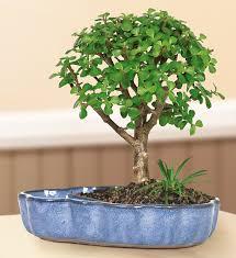 amazon com brussel u0027s jade in land water pot bonsai large