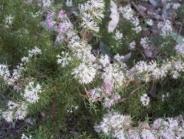 shade tolerant native plants hakea lissocarpha honeybush mallee native plants
