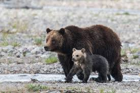 famous bear cub killed in hit and run in national park