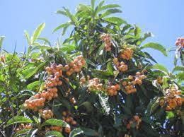 the 25 best japanese plum tree ideas on japanese