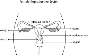 Anatomy Of The Female Reproductive System Pictures Reproductive Anatomy Of Woman Human Anatomy Chart