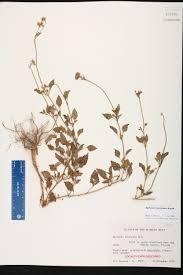 florida keys native plants ageratum maritimum species page isb atlas of florida plants