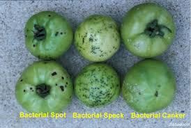 Bacterial Diseases Of Plants - tomato spots ask an expert