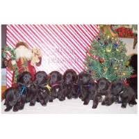 belgian sheepdog groenendael puppies for sale search locally for groenendael breeders nearest you freedoglistings