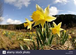 Plants Blooming Common Daffodil Narcissus Pseudonarcissus Wild Plants Blooming