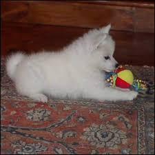 american eskimo dog growling southeast texas american eskimo club