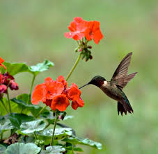 Hummingbird On A Flower - attracting hummingbirds to your yard the homeschool scientist