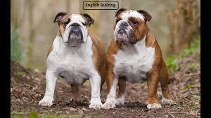 bulldog y boxer old english bulldog vs english bulldog youtube