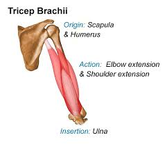 Human Anatomy Words Tricep Brachii Medical Anatomy Terminology Reference Material
