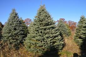 blue spruce trees merwine farms nursery wholesale direct evergreen trees photos