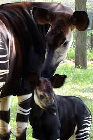 brookfield zoo announces birth of okapi calf will chicago sun times