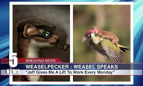 Weasel Meme - photo of weasel riding on a woodpecker spawns hilarious photoshop meme