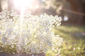 babys breath how to grow gypsophilia baby s breath selfeco garden