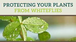 How To Get Rid Of Flies In The Backyard by How To Kill Whiteflies Whitefly Reproduction U0026 Life Cycle