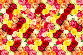 roses colors s day images stock photos colourbox