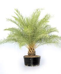 sylvester date palm tree sylvester date palm sylvestris eagle ridge nursery