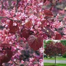 flowering ornamental trees louisiana nursery