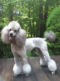 Different Styles Of Hair Cuts For Poodles | different styles poodle grooming different hair styles page 2