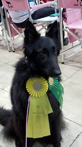 belgian shepherd ohio gilley u2013 qs bn and ra bsca nationals 2017 u2013 blackforest belgian