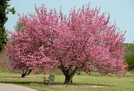 Flowering Cherry Shrub - buy flowering cherry trees online