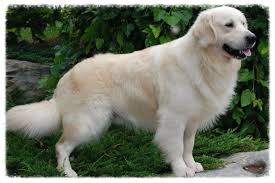 white golden retrievers for sale meet milly