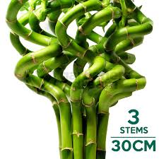 30cm lucky bamboo 3 spiral stems indoor plant pot garden