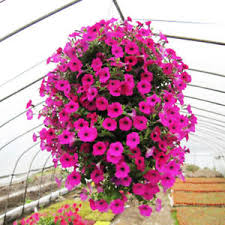potted flowers 50pcs morning seeds hanging petunia home garden potted